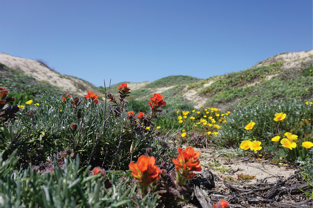 Spring Comes To Dunes >> Full Guided Hike At Martin Dunes Big Sur Land Trust